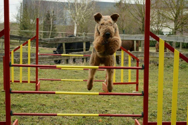 Agility Behendigheid Jumping Dog Hond Airedaleterrier Airedale Hondensport