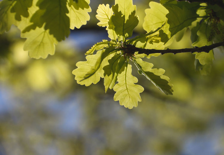 Quercus Beauty In Nature Close-up Day Fragility Freshness Green Color Growth Leaf Nature No People Oak Oak Leaves Outdoors Plant Sunlight Sunlight ☀ Tree Young Leaves