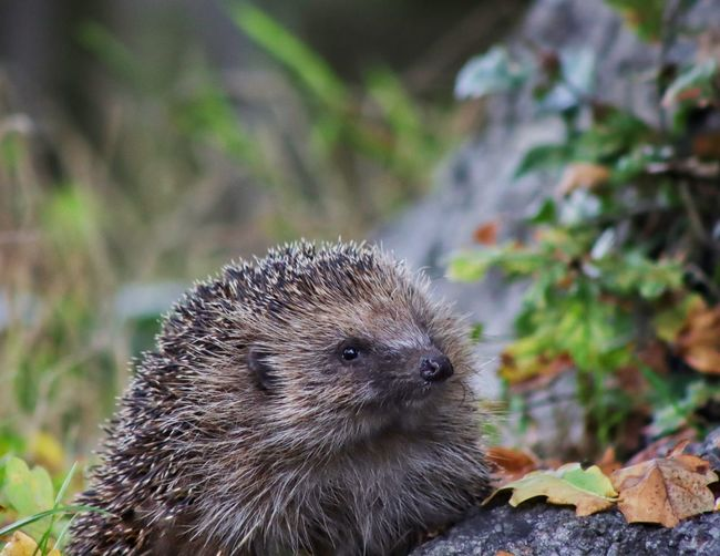 Close-up of a hedgehog on field