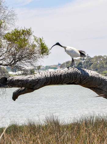 Large black and white Australian Ibis in the peaceful Lake Coogee wetland reserve in Western Australia. Animal Australia Australian Bird Black Branches Curved Beak Fauna Ibis Lake Lake Coogee Large Nature One Animal Outdoors Plumage Profile Reserve Wading Bird Water Western Australia Wetland White Wildlife Wildlife & Nature