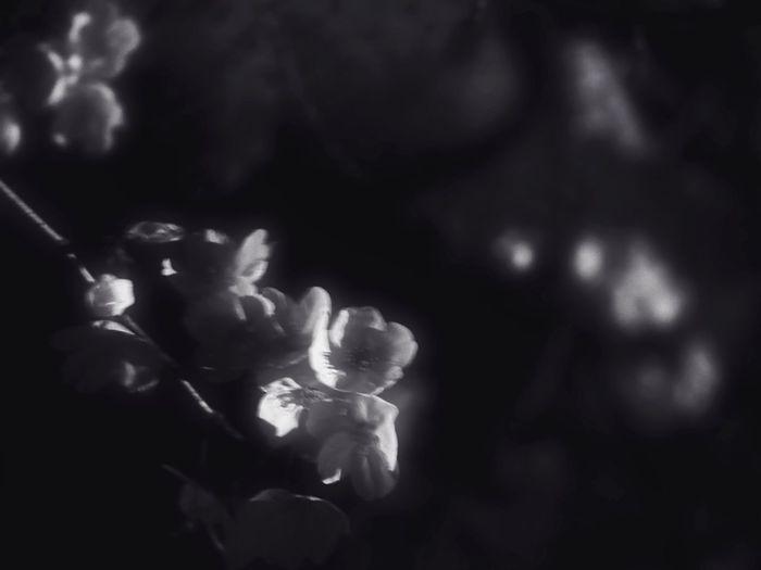 Moonlight Close-up Flower No People Black Background Flower Head Yozakura Cherry Blossoms Sakura2017 Black And White Japanese Culture Bnw Nightphotography Hanami Sakura Moon Tranquil Scene Noir Et Blanc Night Moonlit Monochrome Noir