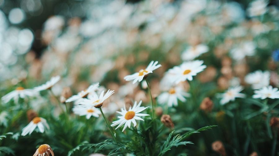The dazzling whites Flower Growth Beauty In Nature White Color Daisy Flower Head Blooming Field Fujifilm_xseries Tranquility Nature