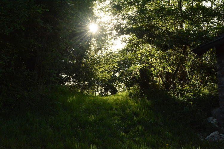 Plant Tree Sunlight Sun Nature Tranquility Beauty In Nature Land Growth No People Sky Forest Tranquil Scene Day Outdoors Sunbeam Grass Scenics - Nature Sunny Green Color Lens Flare Solar Flare