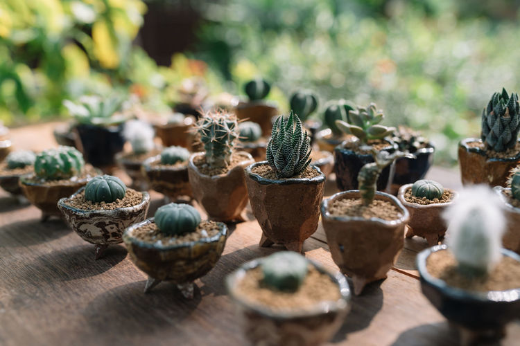 Cactuses Cactus Cactus Garden Cactuses Close-up Day Decoration Freshness Growth Nature Outdoors Plant Plant Wood - Material