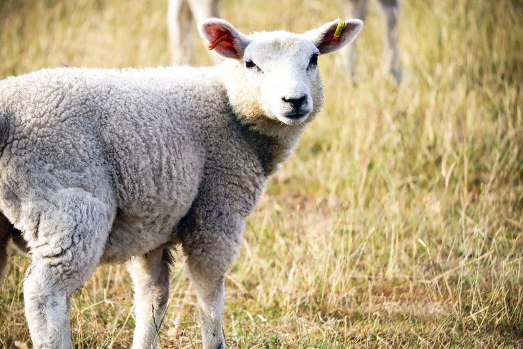 Lamb in a field Lamb Animal Animal Themes Domestic Domestic Animals Field Grass Herbivorous Lamb Lambs Land Livestock Mammal Nature No People One Animal Outdoors Pets Plant Portrait Sheep Standing Uk Vertebrate Wool