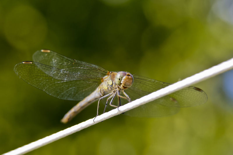 Close-up of dragonfly on string