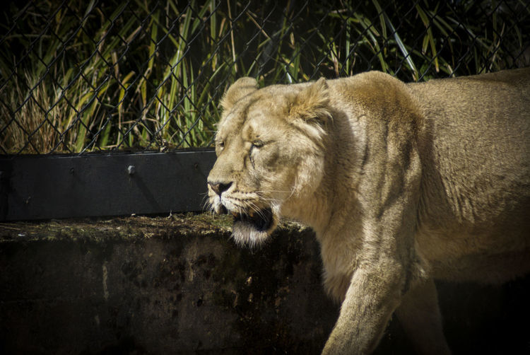 Animal Themes Animals Animals In The Wild Close-up Conservation Day Endangered Species Lioness Mammal Nature No People One Animal Outdoors Zoo