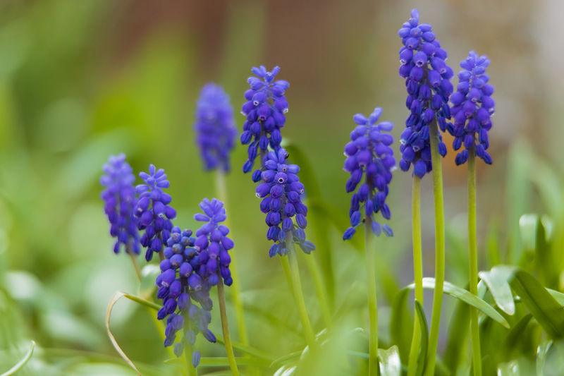 grape hyacinth Flowering Plant Flower Plant Vulnerability  Growth Fragility Beauty In Nature Freshness Close-up Purple No People Nature Petal Selective Focus Day Flower Head Grape Hyacinth Hyacinth Inflorescence Green Color Blue