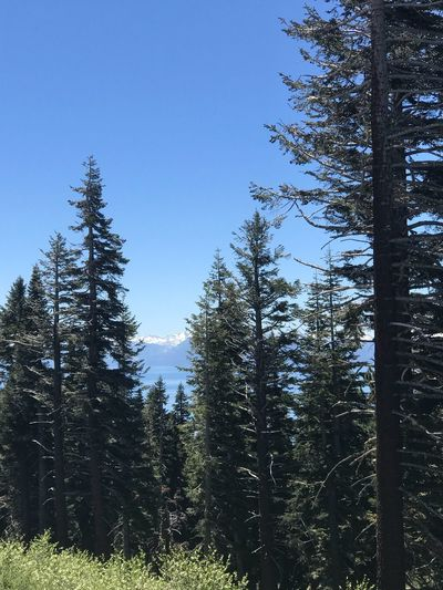 Tahoe unfiltered..... Forest Nature Tranquil Scene Low Angle View Land Scenics - Nature Clear Sky Day Blue Coniferous Tree Non-urban Scene Outdoors Pine Tree