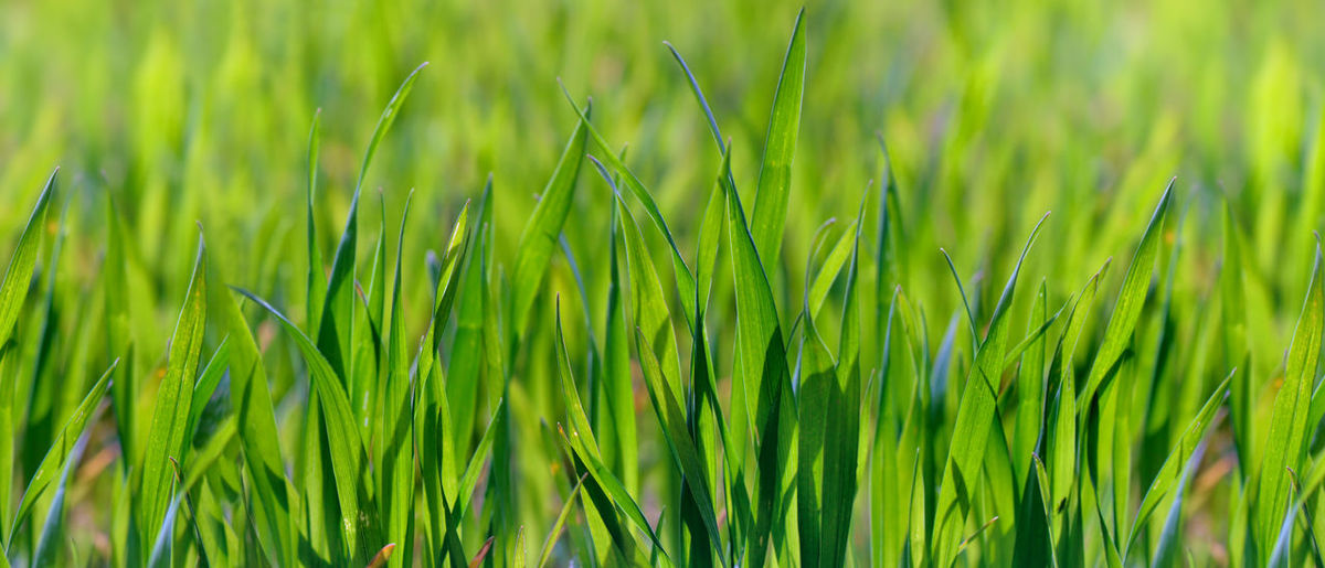 Green Color Plant Growth Nature Backgrounds Agriculture Field Freshness Grass Land Crop  Cereal Plant Landscape Rural Scene Blade Of Grass Wheat Panoramic View