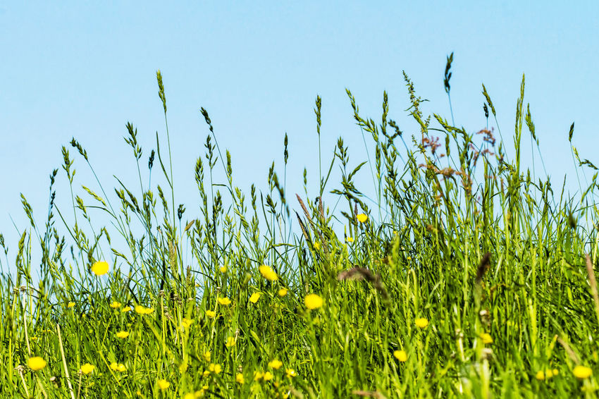 Meadow, grasses on a dyke Flowers Beauty In Nature Blue Sky Blue Sky Background Clear Sky Day Dike Field Freshness Grass Green Color Growth Land Nature No People Outdoors Plant Sky