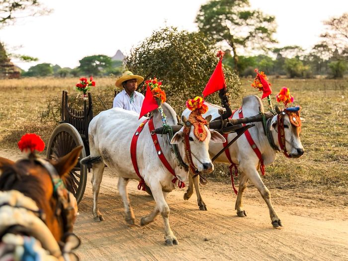Myanmar Bagan Cow Oxcart Domestic Animals Traditional Clothing Outdoors Men Only Men Field Real People