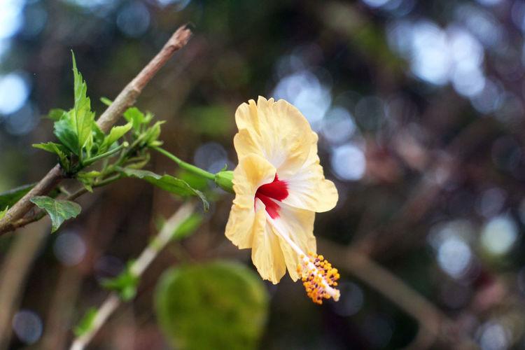 Jaswand Flower