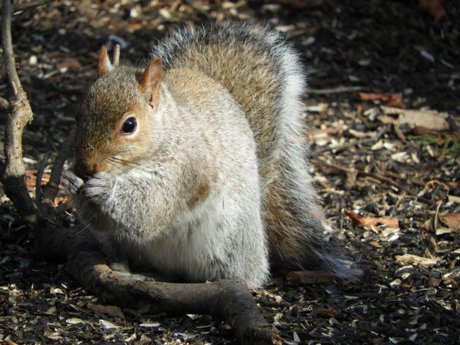 Grey Squirrel Eating Grey Squirrel Nature Photography Nature Beauty In Nature Winter In Massachsetts Squirrel Squirrel Closeup Animals In The Wild One Animal Animal Themes Animal Wildlife No People Day Outdoors Nature Mammal