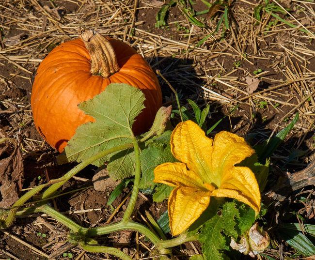 Autumn EyeEmNewHere Green Orange Sunny Yellow Flower Autumn Brown Close-up Dirt Field Flower Growth Leaf Outdoors Pumpkin Pumpkin Patch Pumpkin Vines Tan Yellow