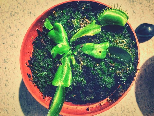 Dionaeamuscipulla Dionaea Muscipula Dionaea Dionaeamuscipula Plant RePicture Growth Carnivorousplant New Years Resolutions 2016 Plants Planting
