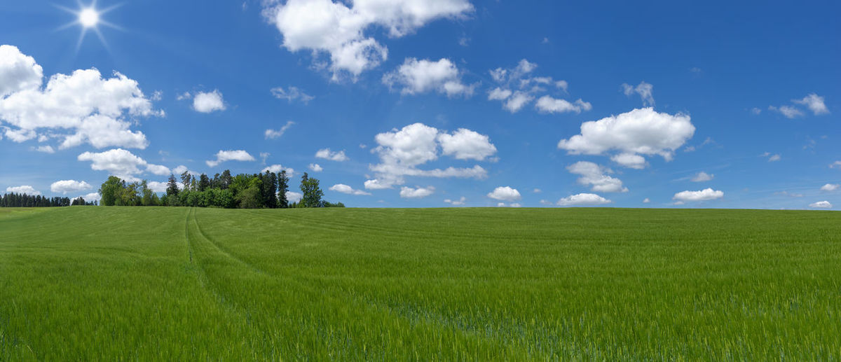 Large field with very young barley - as panoramic shot with blue and white sky and sunshine Agriculture BIG Cereal Farmland Field Green Growth Panorama Panoramic Young Awn Barley Barley Field Cereal Field Countryside Cultivated Ear Farming Grain Field Horizon Immature  Landscape Large Sun Unripe