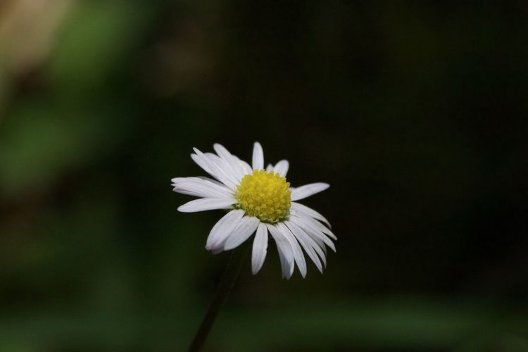Flower Beauty In Nature Petal Close-up White Color Flower Head Nature Plant Daisy Lake Garda Italy Hotel Maximilian Simplicity Simple Beauty Easy To Miss
