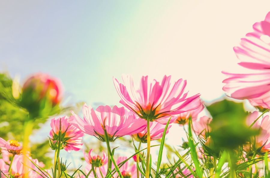 Cute♡ Flower Growth Nature Plant Beauty In Nature Petal Freshness Field Fragility No People Flower Head Blooming Clear Sky Outdoors Close-up Day Cosmos Flower Sky