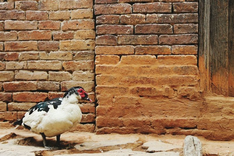 Muscovy duck against wall