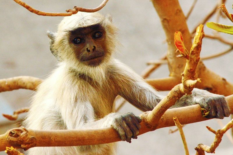 Monkey Animal Wildlife No People Animal Themes Day Tree Nature Nikonphotography Wildlife In The City Animals In The Wild Ahmedabad India Nikon D5200 Pictureoftheday Beautyofdecay Photography Photooftheday Picoftheday Ahmedabad