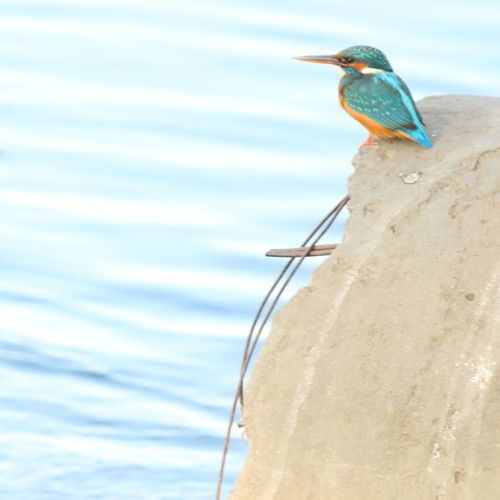 Kingfisher.. in the city of lakes bhopal.. First Eyeem Photo
