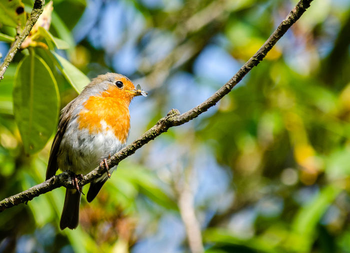 Low angle view of robin perching on twig