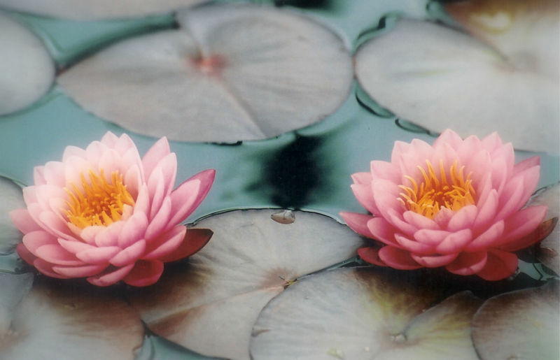 Beauty In Nature Blossom Day Flower Head Freshness In Bloom Japanese Garden Nature No People Selective Focus Softness Water Lily
