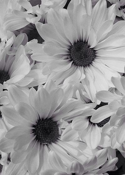 Happy Monday 🙋🏼 Black & White Daisy Mum Flower Freshness Fragility Beauty In Nature Flower Head Close-up Full Frame Nature