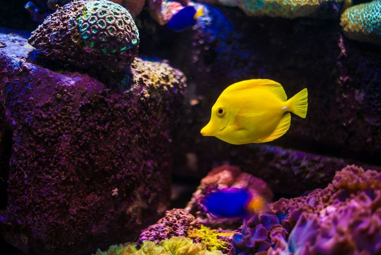 Yellowtang Yellow Fish Marinelife Aquarium Underwaterlife Fishtank Yellowfish Marine Animal