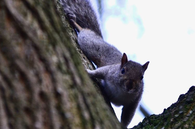 Grey Squirrel Invasive Species Grey Squirrel On Tree Trunk In Park Grey Squirrel Animal Themes Animal Wildlife Animals In The Wild Close-up Day Mammal Nature No People One Animal Outdoors Squirrel Tree