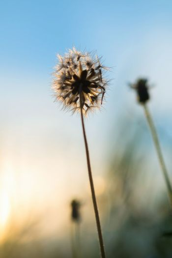 Aging Beauty In Nature Close-up Day Fall Flower Flower Head Focus On Foreground Fragility Freshness Growth Nature No People Outdoors Plant Seed Sky Thistle Uncultivated Wilted Flower