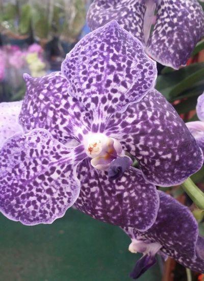 Orchid ILove