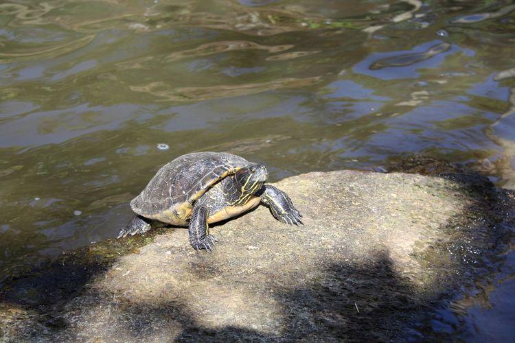 Turtle at Beto Carrero World, Camboriu, Brasil Reptile Water Animal Wildlife One Animal Animal Themes Outdoors Nature No People Day Swimming Turtle 🐢 Beto Carrero World
