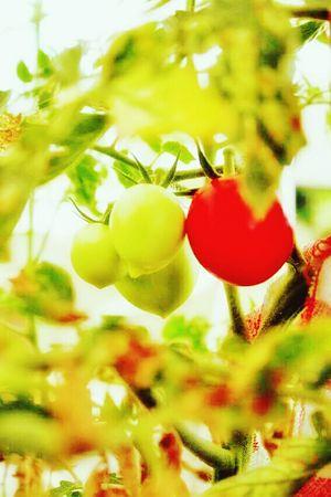 Tomato Green Red Morning Sunshine Light Life In Colors EyeEm Nature Lover EyeEm Summertime