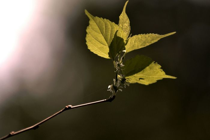 Mulberry Tree Green Leaves Leaf Fantasy