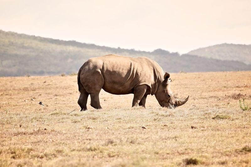 Rhinoceros standing on landscape