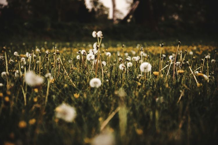Close-up of dandelions growing on field