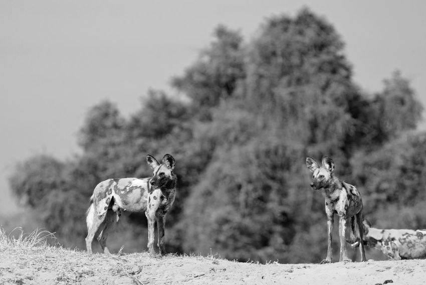 Animals In The Wild Hunting Dogs Painted Dog South Luangwa National Park Wild Dogs Africa Animal Themes Dog Mammal Monochrome Nature No People Outdoors Pack Of Dogs Sky
