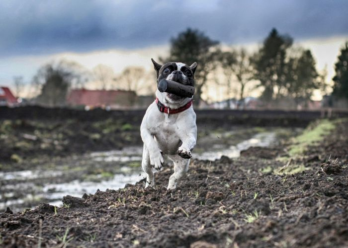Bullies Dogs Dogs In Action Französische Bulldogge  Frenchbulldog Frenchie Hunde Outdoors Moments Of Happiness
