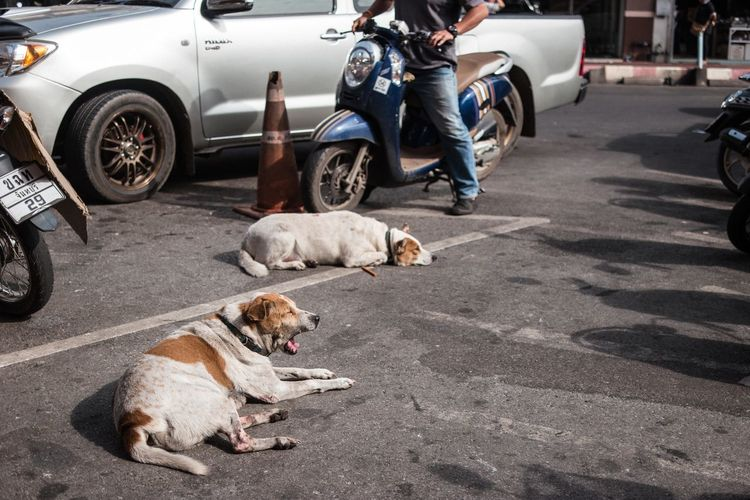 Dog lying down on road in city