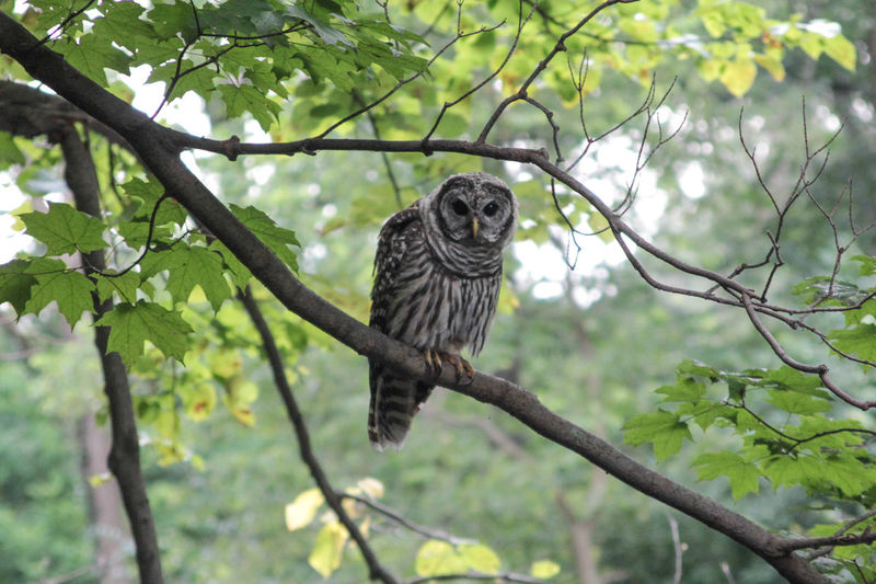 Animal Themes Beauty In Nature Bird Of Prey Branch Day Focus On Foreground Forest Preserve Green Color Growth Low Angle View Nature No People Outdoors Owl Owl In The Daytime Owl In The Trees Perching Portrait Selective Focus Sky Tree Wildlife Showcase June