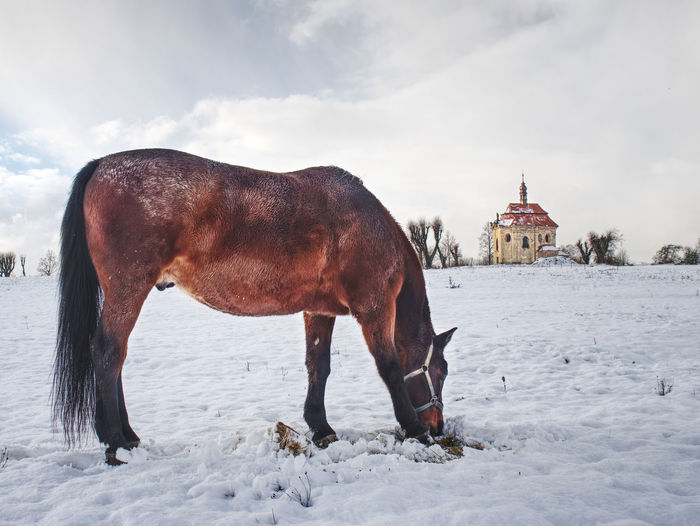 Horse on snowy meadow in sunny winter day. old church or chapel on hill in background.