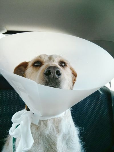 Close-Up Of Dog Wearing Protective Collar In Car