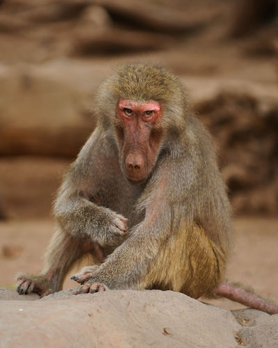 Baboon Animal Themes Animals In The Wild Baboon Baboon Portrait Baboons Close-up Day Focus On Foreground FUNNY ANIMALS Japanese Macaque Mammal Monkey Nature No People One Animal Outdoors Portrait Sitting