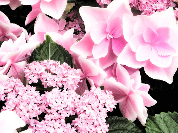 Beauty In Nature Blooming Blossom Close-up Day EyeEm Nature Lover Flower Flower Head Fragility Freshness Growth Hydrangea Hydrangea Flower Hydrangea In Bloom Hydrangeas Japan Nature No People Outdoors Petal Pink Color Pink Flower Plant
