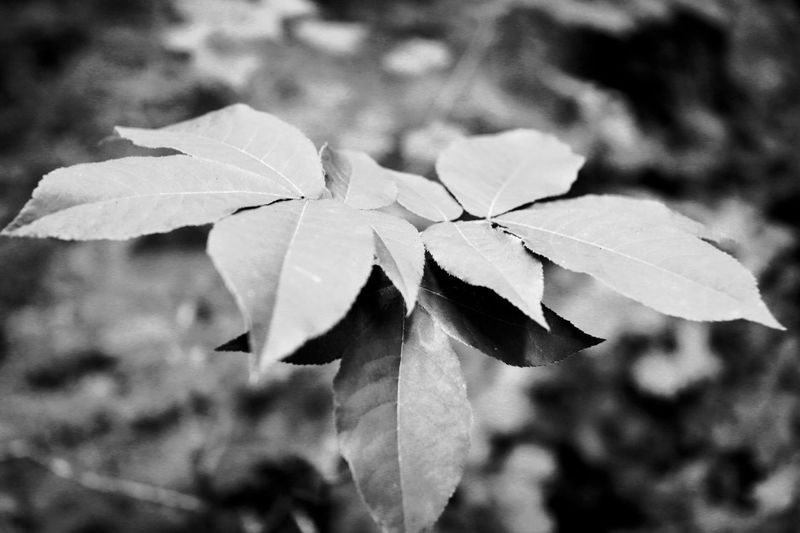 Black and white Leaves Best EyeEm Shot Photooftheday Bw_photooftheday BW_photography Bw Bw_collection Blackandwhite Black And White Outside Leaf Plant Part Close-up Beauty In Nature Plant Nature No People Autumn Plant Stem Tranquility Change Freshness Drop Fragility Day Focus On Foreground Growth Vulnerability  Outdoors