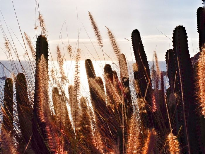 Cactuses Growing By Sea Against Sky