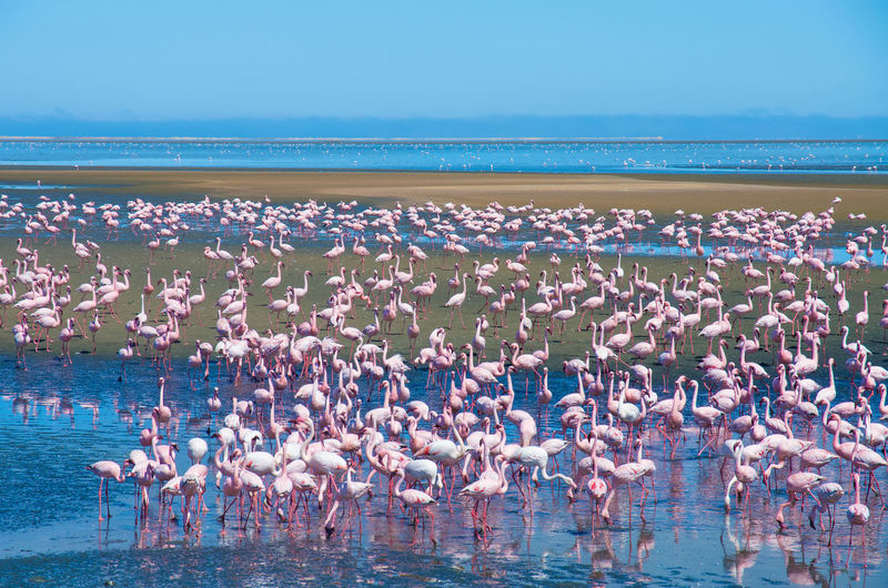 Strength in Numbers - Flamingos Bird Photography Blue Color Flamingo Flock Of Birds Namibia Africa Animal Animal Themes Animal Wildlife Animals In The Wild Beauty In Nature Bird Birds Blue Flamingo Flamingos Flamingos In Water Flock Of Birds Group Of Animals Lagoon Large Group Of Animals Nature Pink Color Sea Water The Great Outdoors - 2018 EyeEm Awards