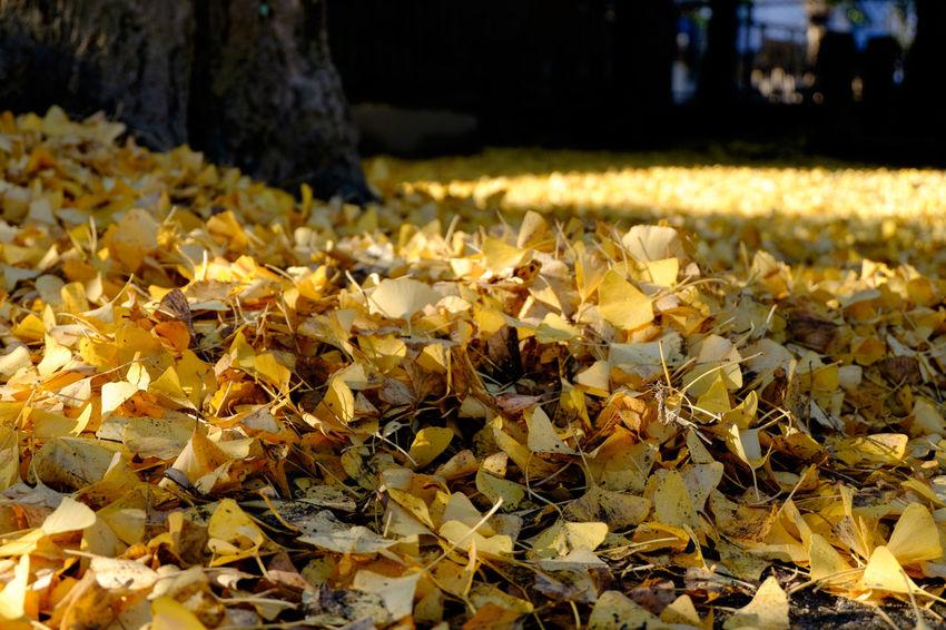 Autumn Autumn Leaves Fall Fall Colors Fujifilm Fujifilm X-E2 Fujifilm_xseries Gingko Yellow Yellow Gingko 手児奈霊神堂 秋 落ち葉 銀杏 黄色